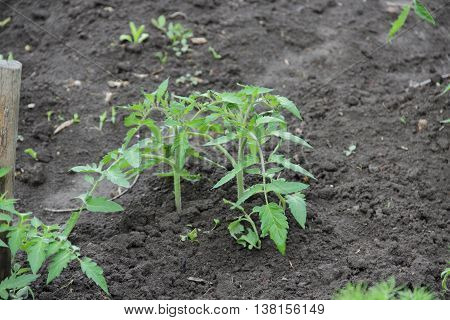 Bush seedlings of tomato tethered to a stake