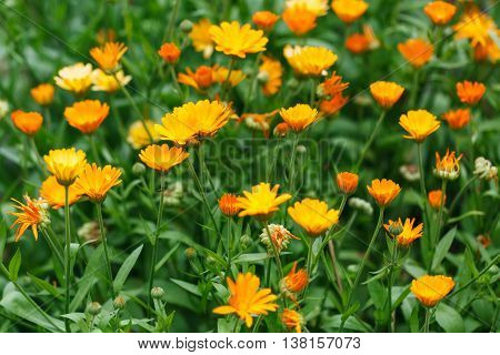 Summer Background With Growing Flowers Calendula, Marigold