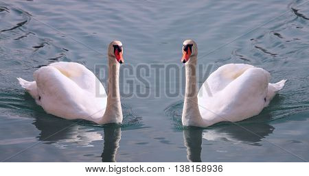 Beautiful pair of white swans with orange beak on a water