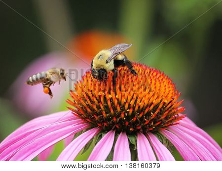 two bees pollinating an echinacea purpurea flower on a hot summer day in a local park