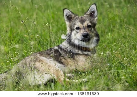 the dog breed Visigoth Spitz is lying on green grass
