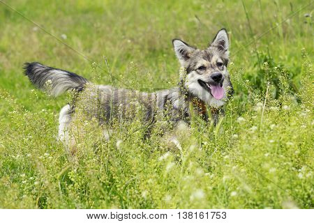 the dog breed Visigoth Spitz is standing in green grass
