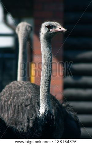 Two ostrich standing back to back as a reflection in a mirror.