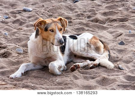 Stray dog on the beach, lying in sand.