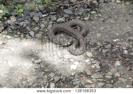 certainly grey snake with orange spots on his head on the pavement