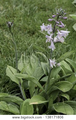 Lilac bloom of hosta flower in the garden,  Sofia, Bulgaria