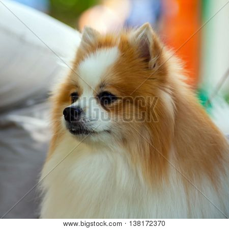 portrait of a dog breed a pomeranian spitz-dog outdoors, on a background of a leg of the person sitting on a bench in park
