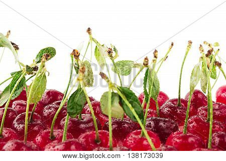 Cherry background. Bunches of ripe juicy rich shiny cherries on a white background. Isolated. Decorative fruit frame. Fresh ripe cherries with tails leaves and water drops. Fruit background. Copy space.