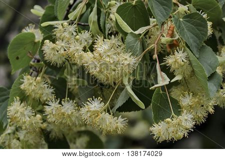 Branch with bud and bloom of lime tree flowers  or Tilia, Sofia, Bulgaria