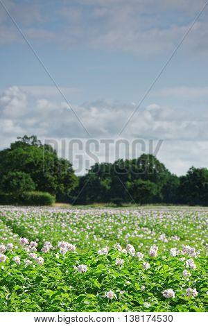 Field of potatoes in flower in the UK