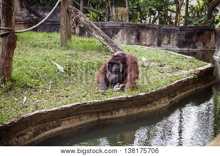 The adult male of the Dominant male orangutan with the signature developed cheek pads that arise testosterone surge . Zoo in Bali