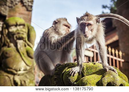 monkey macaque siting on the stone close up. Monkey temple in Bali