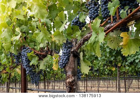 Clusters of ripe red wine grapes on the vine at harvest. Looking up at grapevines in autumn, with green, yellow leaves. Grapes hang from vines in Napa Valley California.