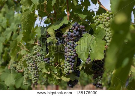 Bunches of California wine grapes changing color during veraison. Clusters of red and green grapes hang on the vine in Napa Valley. Sunlight on the grapevines, with green leaves in wine country.