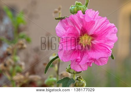 Closeup of Hollyhock flower (Alcea) in pink blossoming during Autumn in South Australia