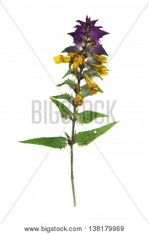 Pressed and dried flowers melampyrum nemorosum. Isolated on white background. For use in scrapbooking floristry (oshibana) or herbarium.