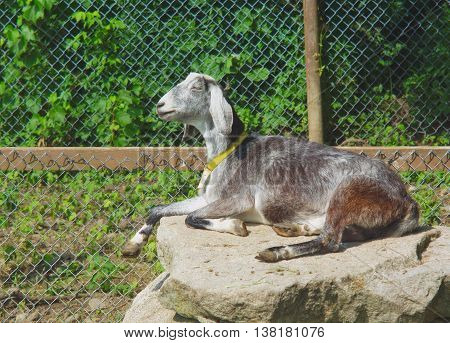 goat resting on a rock in enclosure in sunlight
