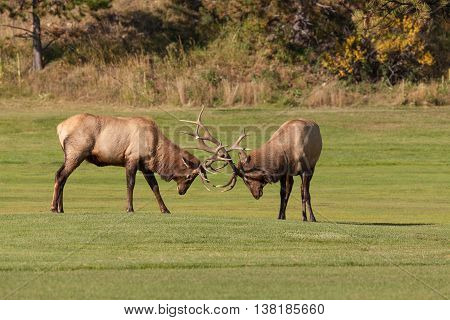 a pair of bull elk fighting in a meadow during the rut