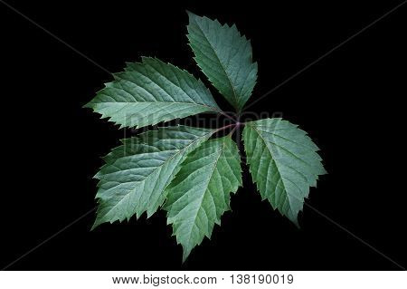 Green leaf of Virginia creeper (Parthenocissus quinquefolia). Isolated on a black background
