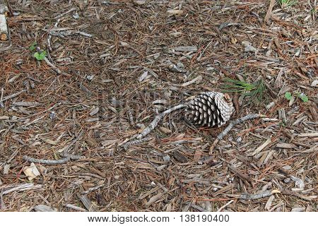 A single brown and white pine cone resting on brown leaves, bark, and grey twigs with small patches of green grass and clover
