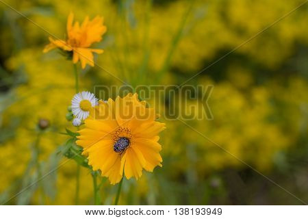 Yellow coreopsis and pollinate his beetle. Nature