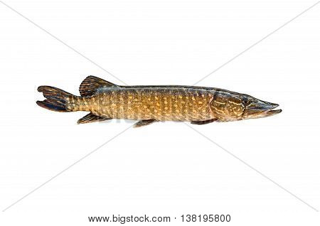 big pike isolated on white background in a horizontal position