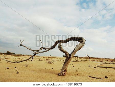 Drily tree in sand desert