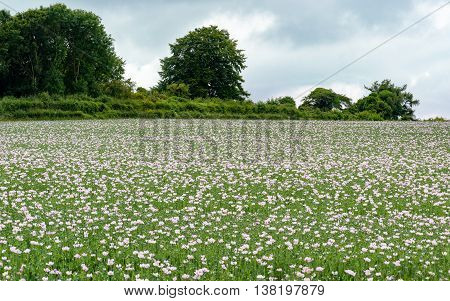 Opium Poppies Somniferum Papaver in a English country side grown for the medical use of Morphine Landscape image of a field full of poppies with trees in the background