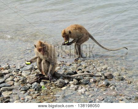monkeys eat the food on the stone in the water
