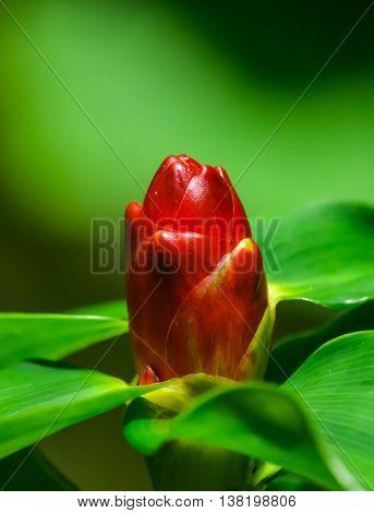 flower in garden, ginger flower, costus speciosus, indian head ginger, red head flower
