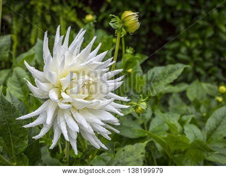 Close up view of a white Dahlia on an out of focus background