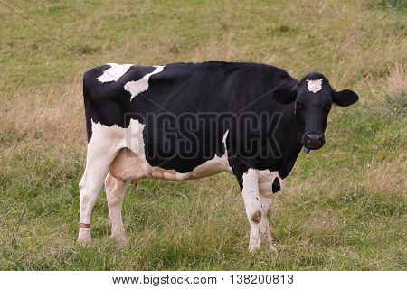 Detail view of Holstein dairy cow standing in field.