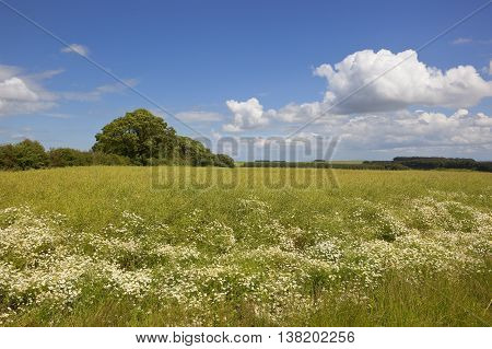 Canola Crop With Chamomile
