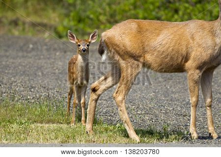 Young black-tailed doe by its mother in Ocean Shores Washington.