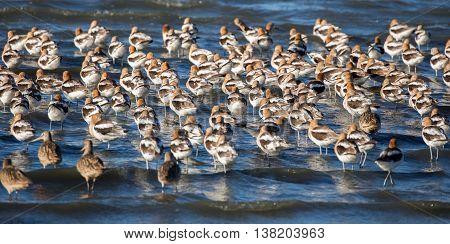 American Avocets flock (Recurvirostra Americana); Shoreline Lake and Park, Santa Clara County, CA