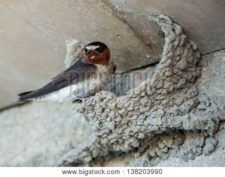 Barn Swallow (Hirundo rustica) on its Remarkable Nest