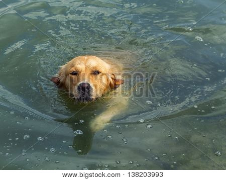 Golden Retriever Dog Swimming in a Lake