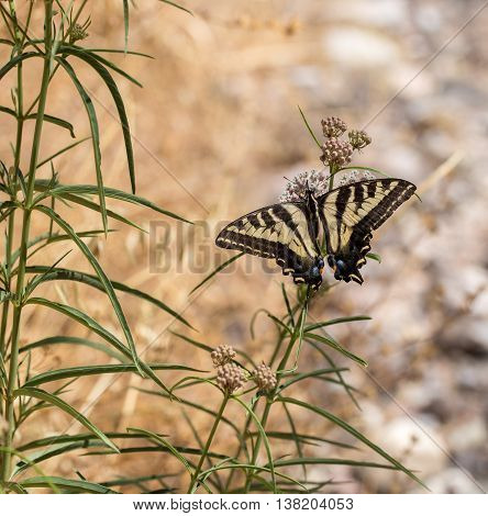 Anise Swallowtail (Papilio zelicaon) feeding off flower nectar