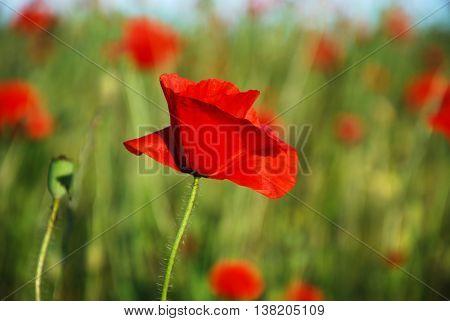 Sunlit single shiny poppy in a corn field