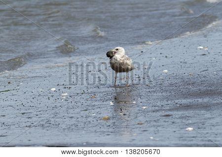 Immature Herring Gull with something in its beak on Damon Point in Ocean SHores Washington.