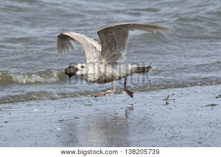 Herring Gull takes flight on Damon Point in Ocean SHores Washington.