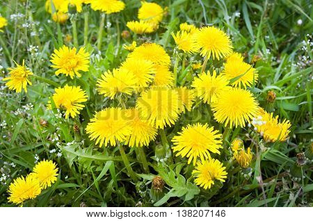 Yellow dandelions on green grass the top view.