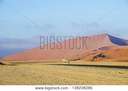 Oryx antelope walking through the Namib desert.