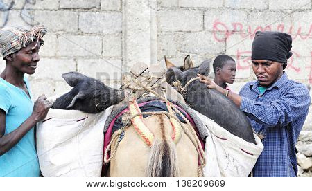 FOND BAPTISTE, HAITI: FEBRUARY 18, 2016.  A man and a senior woman working together to load pigs they had purchased at mark into a donkey's saddle bags.