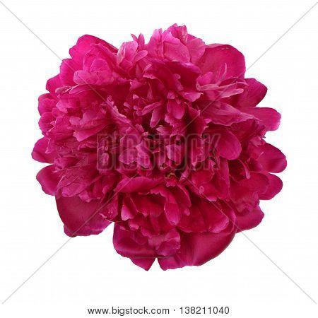 Deep Purple Peony Flower