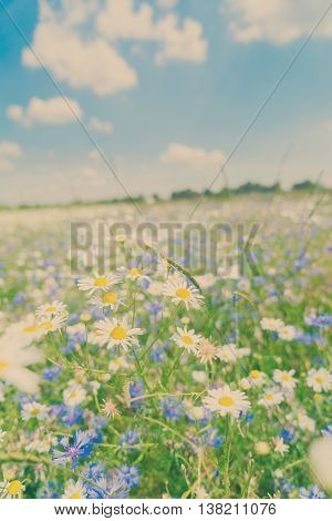 Blue corflower and camomile flowers meadow field with fresh green grass, retro toned