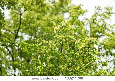 Blooming Branches Of Lime Tree (tilia Cordata)