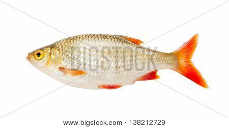 Fish. Fresh raw fish rudd isolated on white background