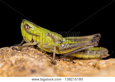Meadow grasshopper (Chorthippus parallelus) in profile. Green insect in the family Acrididae showing gently curved pronotal keel and short wings