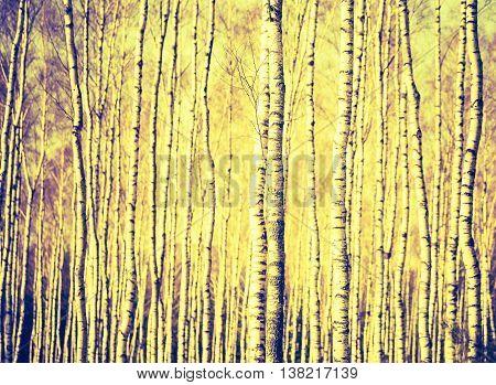 Vintage Photo Of Birch Tree Trunks